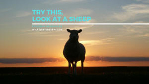Try This, Look At A Sheep