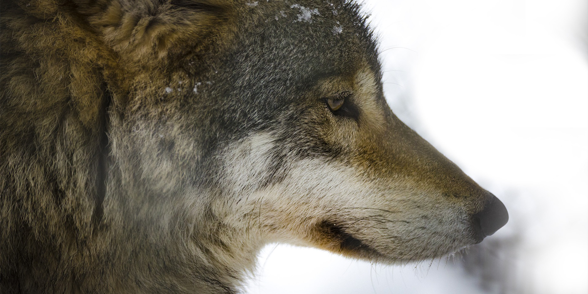 The Stoicism Of Wolves